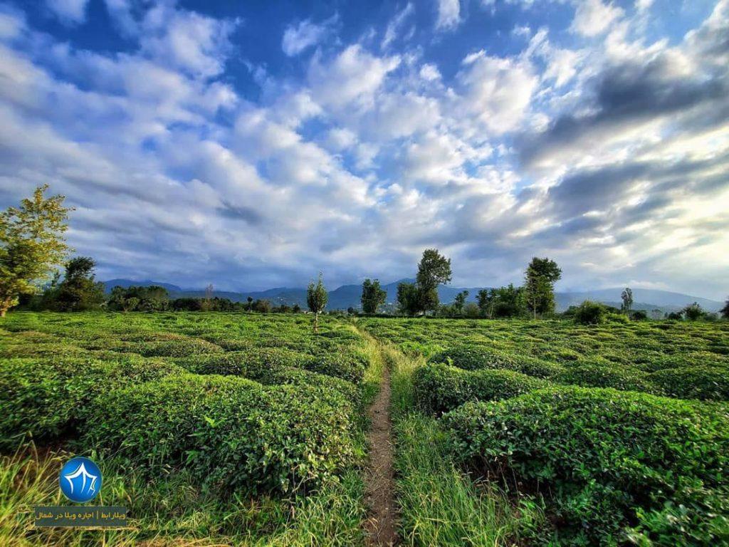 باغ چای املش باغات چای املش ویلارابط مناطق ییلاقی و باغات چای املش (۳)