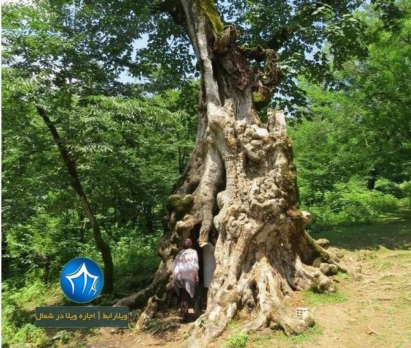 درخت دیدنی کنگول باسکم-درخت کنگول باسکم شفت- درخت کنگول باسکم (۱)