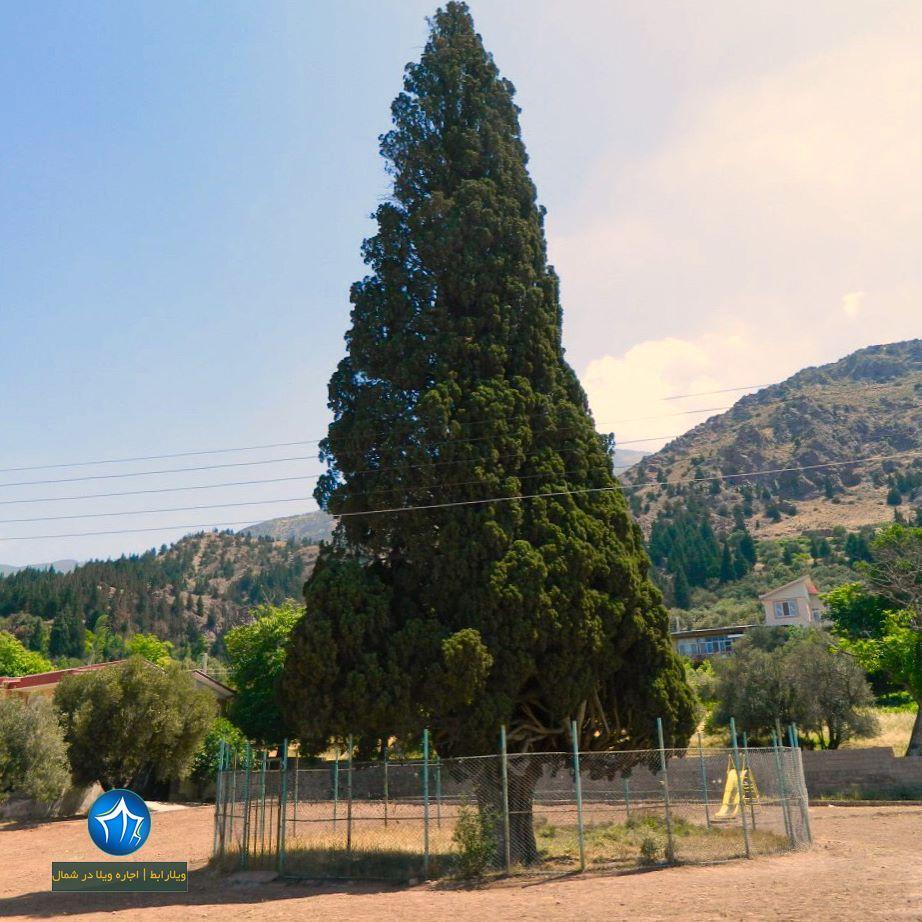 درخت سرو هرزویل رودبار (۲)